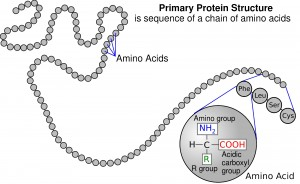 Protein_primary_structure
