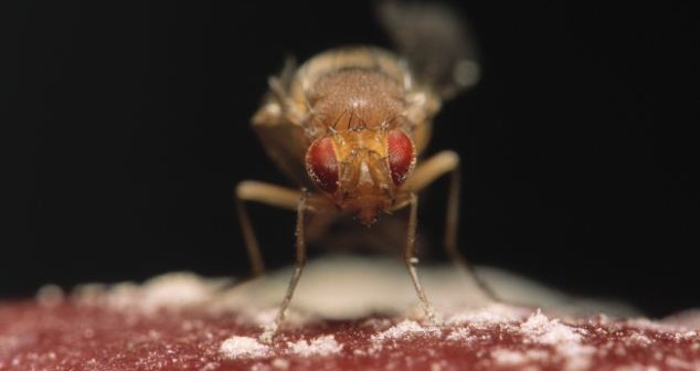 Fruit Fly (Drosophila funebris) close up, Europe