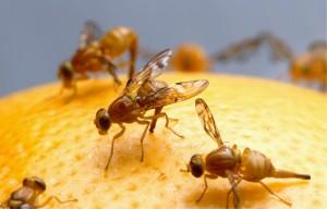 fruit-flies-520905_960_720