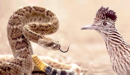 響尾蛇的天敵之一:走鵑,學名 Geococcyx californianus,英文名稱為 road runner。來源:http://videos.patrika.com/video/ajab-gajab/incredible-time-lapse-of-birds-nest-4172.html。
