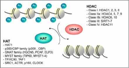 组蛋白去乙酰酶 (histone deacetylase, HDAC) 抑制剂 (HDAC inhibitors)示意图。来源:https://www.researchgate.net/figure/256449491_fig1_Fig-1-Histone-acetyletransferase-HAT-and-histone-deacetylase-HDAC-families