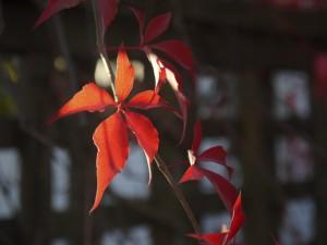 低溫讓葉綠素的合成速率降低,同時充足的陽光會促進花青素合成,花青素吸收藍光、藍綠光以及綠光,因此使葉片呈現飽滿的紅色。(攝影/施柔安 Joanne Shih)