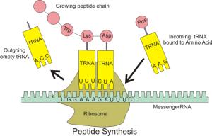 peptide_syn