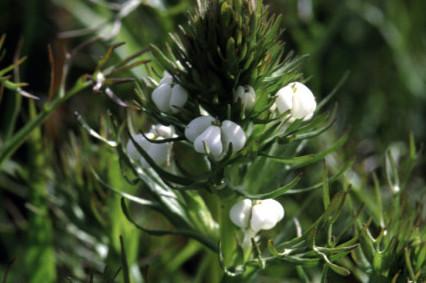 Triphysaria versicolor,來源:https://en.wikipedia.org/wiki/Triphysaria_versicolor