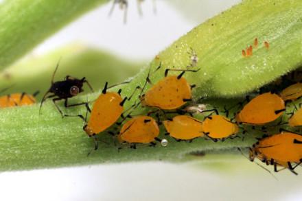 三代同堂的蚜蟲,來源:維基百科。