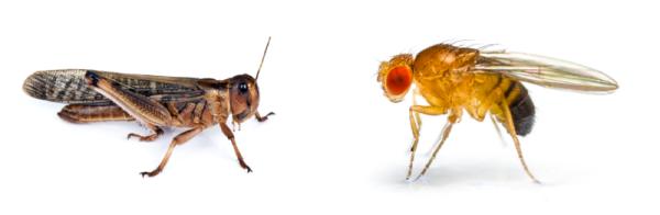 左為蝗蟲,右為果蠅。