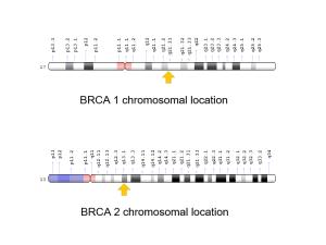BRCA 基因突變示意圖,來源:https://ghr.nlm.nih.gov/gene/BRCA1#;https://ghr.nlm.nih.gov/gene/BRCA2#location