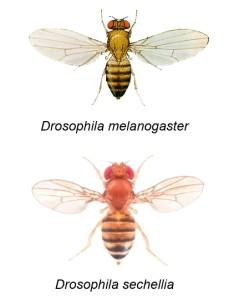 上為黃果蠅(Drosophila melanogaster),來源:http://www.discoverlife.org/nh/tx/Insecta/Diptera/Drosophilidae/Drosophila/melanogaster/。下為塞席爾果蠅(Drosophila sechellia),來源:http://metazoa.ensembl.org/Drosophila_sechellia/Info/Index