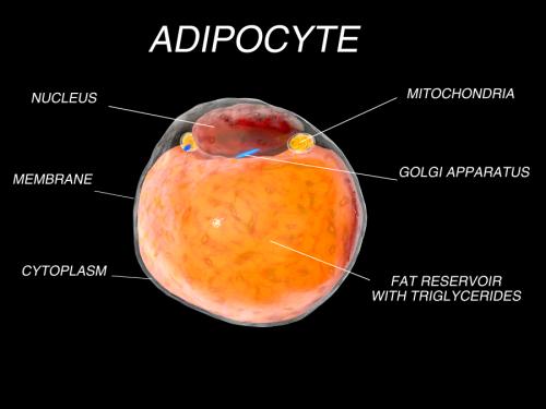 脂肪细胞 (Adipocyte)