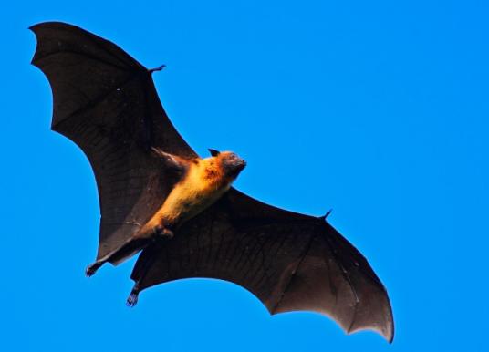 蝙蝠是冠狀病毒(coronavirus)的儲存庫 ?