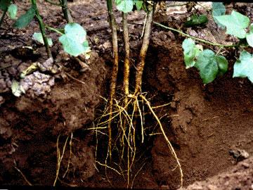棉花的根。圖片來源:Wiki