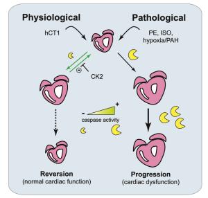 圖一、hCT1 引起的生理性心臟增生與病理性增生之機制比較。來源Cell Research. doi:10.1038/cr.2017.87 。