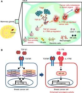 Tregs 所分泌的 TGF-β1 活化長乳癌細胞內 IL-17RB 基因,進而增加乳癌細胞的惡化