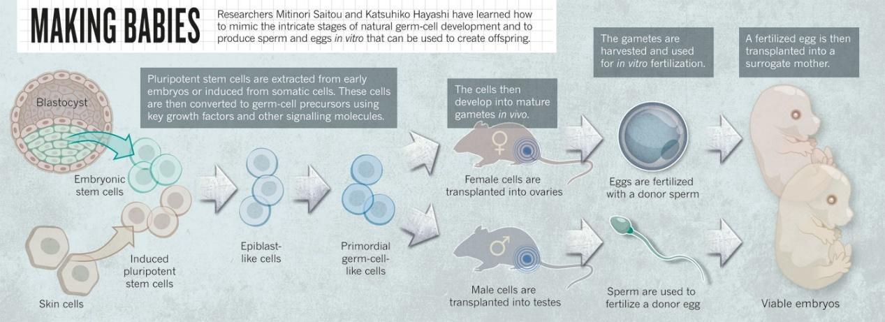 來源:David Cyranoski. Stem cells: Egg engineers. Nature News (2013)