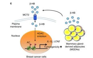 脂肪細胞分泌的 β-HB,能通過 MCT2 ,進入乳癌細胞內,進而活化下游 IL-1β 及 LCN2,最後促進腫瘤增生。