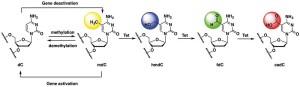 圖一、2'-deoxycytidine (dC)甲基化與 TET 蛋白介導之氧化反應