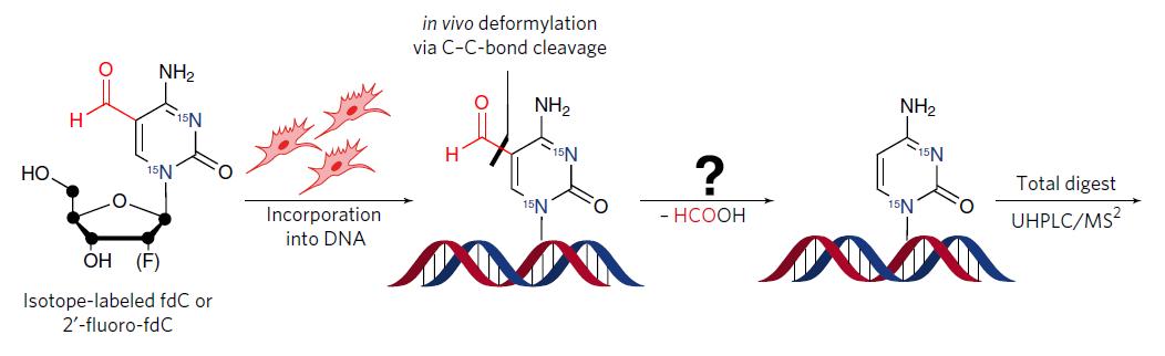 圖二、合成同位素氟標定之 fdC 衍生物嵌入小鼠胚胎幹細胞基因體後發生之碳-碳斷裂