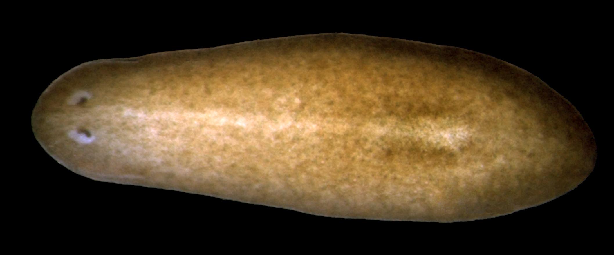 真渦蟲 (Schmidtea mediterranea),來源:Wiki。