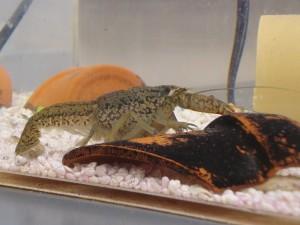 大理石紋螯蝦,來源:Wiki