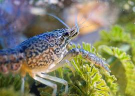 生態浩劫!無限自我複製的「大理石紋螯蝦」大軍恐攻陷全球