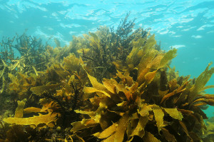 Pacific shallow water kelp forest