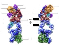 首次解析出端粒酶結構! 抗老化及抗癌的新時代來臨?