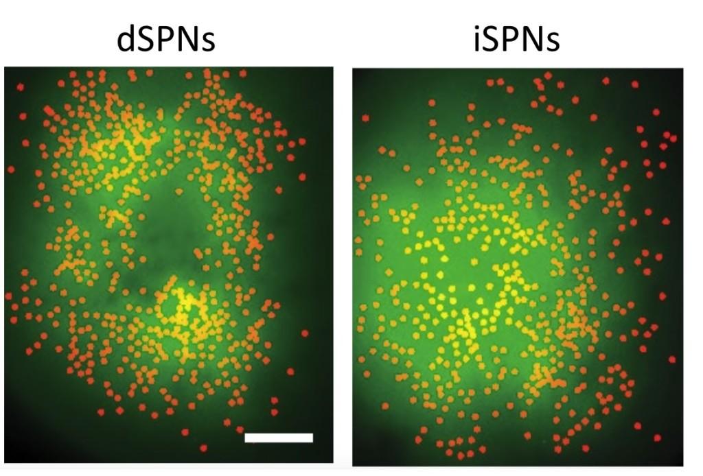 dSPNs 和 iSPNs 螢光顯示。圖來源:Nature (2018) doi:10.1038/s41586-018-0090-6)
