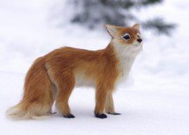 狐狸竟可像家犬一樣? 馴化基因大解密!