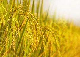 ATCG加加減減,竟然讓稻的基因更豐富!